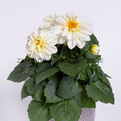Dahlia 'Imagine White'