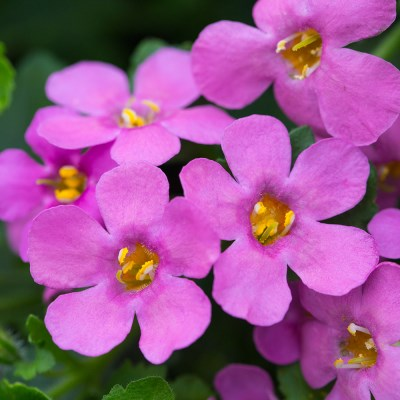 Bacopa 'Epic Pink'