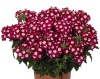 Verbena 'Empress Flair Dark Red Charme'