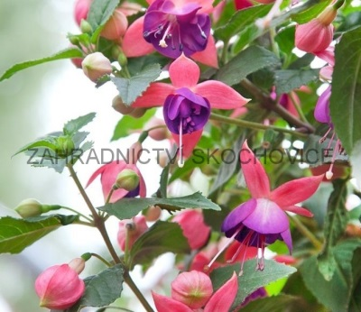 Fuchsie 'Nancy'
