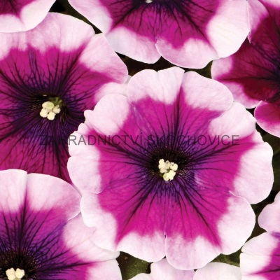 Surfinie 'Crazytunia Passion Punch'