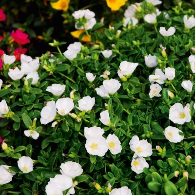 Portulaca 'Muffin White'