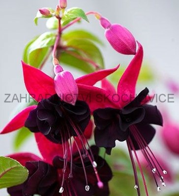 Fuchsie Trailing Tulle