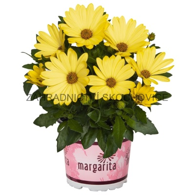 Osteospermum 'Margarita Yellow'