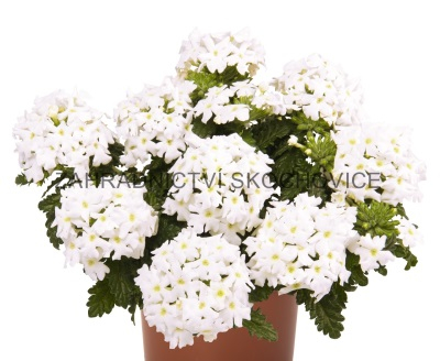 Verbena 'Empress Flair White'