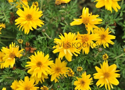 Bidens 'Rapid Double Yellow'