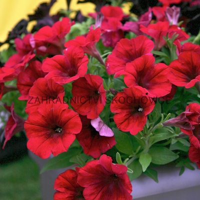 Surfinie 'Crazytunia Red Blues'