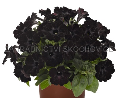 Surfinie 'Sweetunia Black Satin'