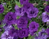 Milion Bells 'Double Blue'