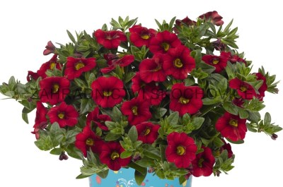 Milion Bells 'A.N.Dark Red'