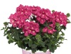 Verbena 'Empress Flair Pink Charme'