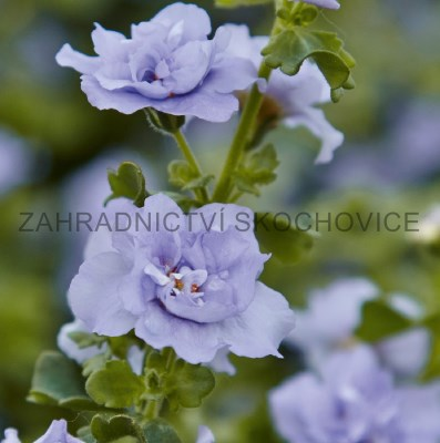 Bacopa 'Double Lavender'