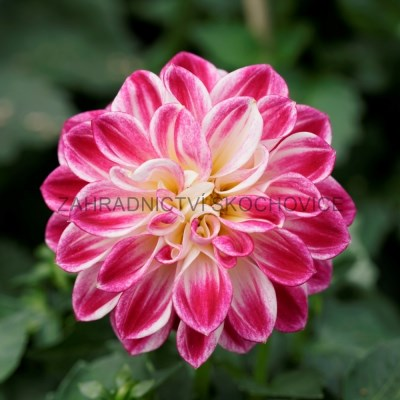 Dahlia 'Imagine Purple White'