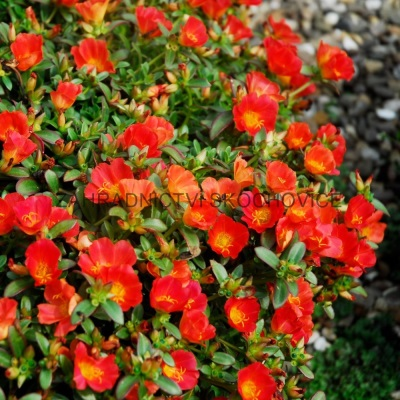 Portulaca 'Muffin Red'