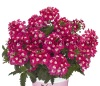 Verbena 'Empress Flair Cherry Charme'