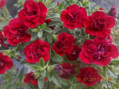 Million Bells Double Dark Red