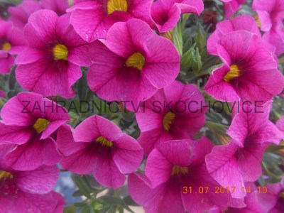 Million Bells Hula Violet