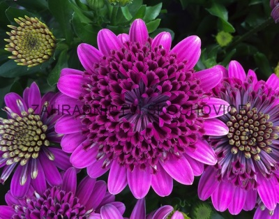 Osteospermum 'Double Purple'
