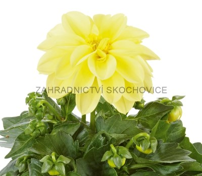 Dahlia 'Imagine Yellow'