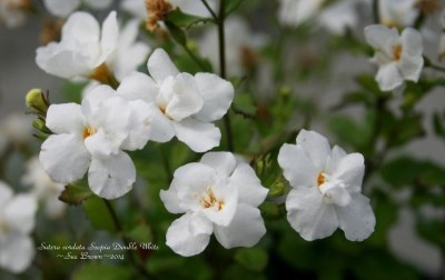 Bacopa 'Double White'