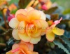 Begonie (Illumination Apricot Shades)