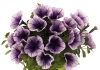 Surfinie 'Potunia Blueberry Ice'