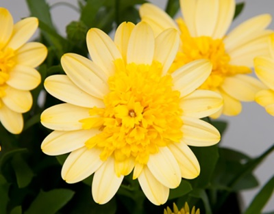 Osteospermum 'Double Yellow'