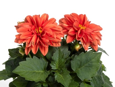 Dahlia 'Imagine Orange'